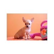 stunning chihuahua puppy